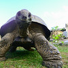 Bird Island's most famous resident is Esmeralda the giant tortoise.  It's actually a he & is estimated to be at least 90 but perhaps as much as 250 years old.  What is certain is that he's the heaviest tortoise in the world at c.375kg!