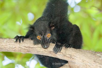 060529_DSC_2138_Lemur