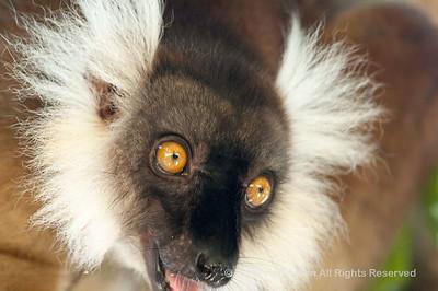 060529_DSC_2247_Lemur