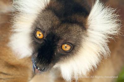 060529_DSC_2248_Lemur