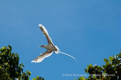 060529_DSC_2211_Tropic_Bird