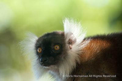060529_DSC_2199__Lemur