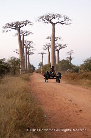 060526_DSC_1953_Baobabs