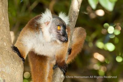060529_DSC_2132_Lemur