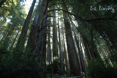 """""""Trees of Mystery"""", Redwood Forest, California"""