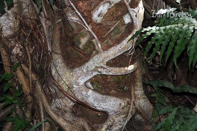 Strangler tree, Shell Island Road