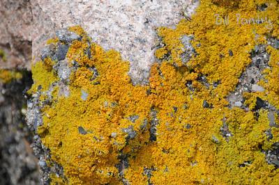 Lichen, Winter Harbor, Maine