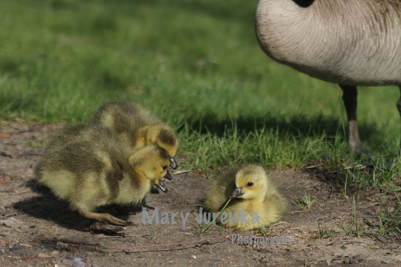 Newly Hatched Goslings at Iowa State University