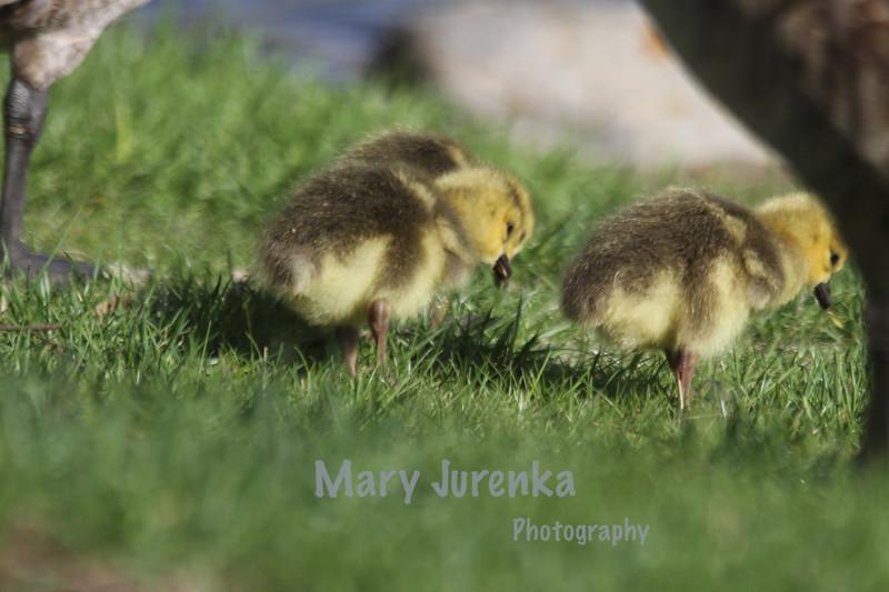 Iowa State University Spring Babies
