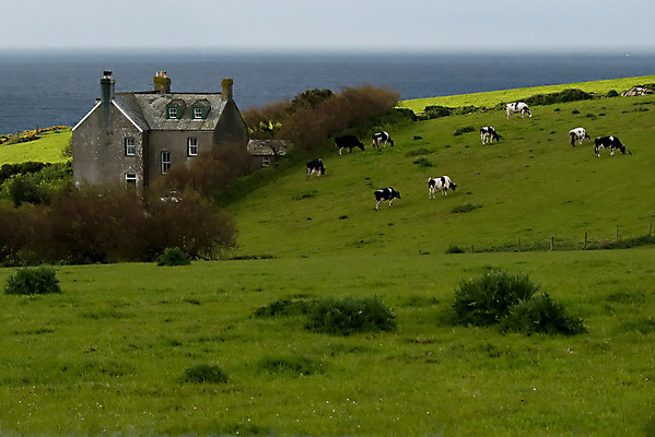 Content Cows just outside of Prussia Cove