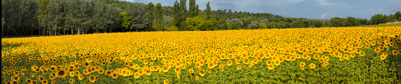 Untitled_Panorama happy sunflowers