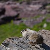 Marmot at Logan Pass in Glacier National Park