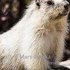 This marmot was photographed at Logan Pass in Glacier National park.