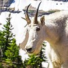This mountain goat was photographed near Logan Pass in Glacier National Park.  Most of the sheep and goats stayed high in the mountains but a couple ventured close.