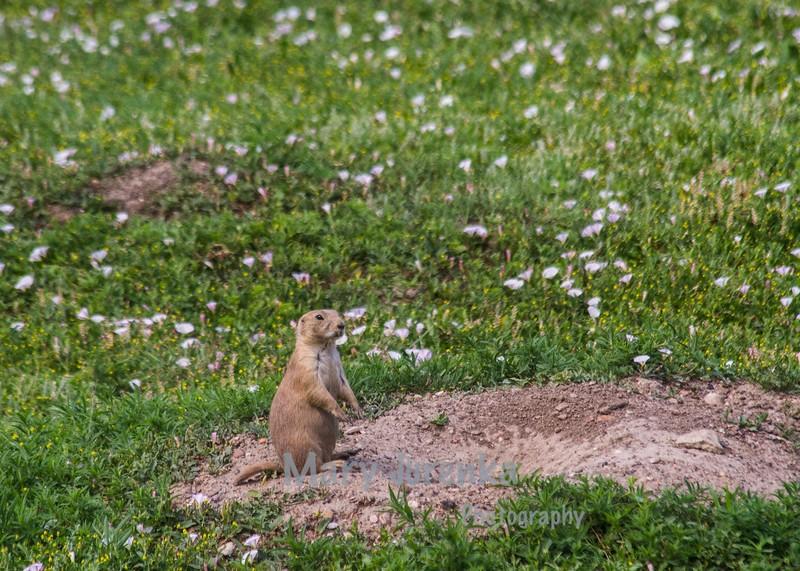 prairie dog in Roosevelt National Park