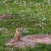 prairie dog in Roosevelt National Park