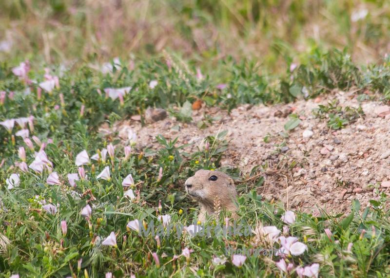 prairie dog peeking over wildflowers