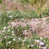 prairie dog peeking over wildflowers