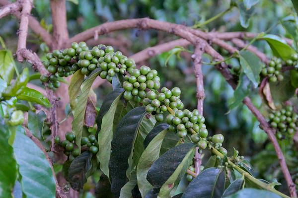 Coffee at Ngorongoro Farm House