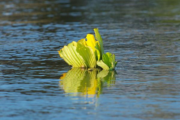 Nile cabbage