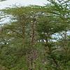Giraffa camelopardalis tippelskirchi