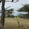 Necrosyrtes monachus & Giraffa camelopardalis tippelskirchi