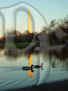Two Mallards leisurely float past the Washington Monument on Constitution Gardens Pond. National Mall, Washington, DC 11/2006