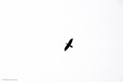 Red Rock Hawk