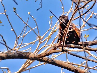 Awaiting Monkey, Costa Rica
