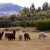 More of the alpaca herd, with Cusco in the background.