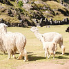 Alpacas freely roam the Saqsaywaman site.