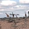 KEN1984060035 - Giraffes, Nairobi to Amboseli, Kenya, 6-1984