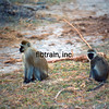 KEN1984060046 - Monkeys, Amboseli NP, Kenya, 6-1984