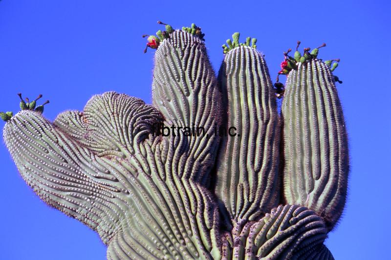 USA2004060104 - USA, Saguaro NP, Arizona, 6-2004