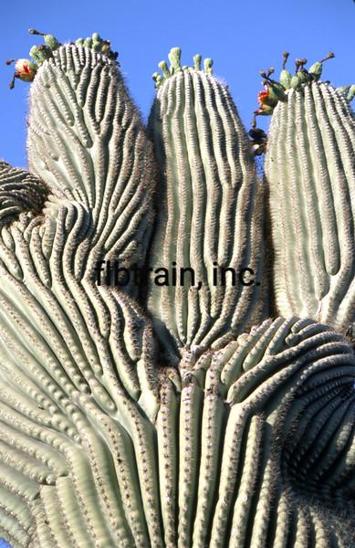 USA2004060107 - USA, Saguaro NP, Arizona, 6-2004