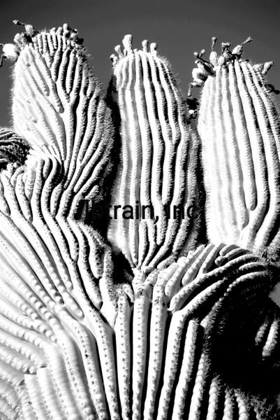 USA2004060109 - USA, Saguaro NP, Arizona, 6-2004