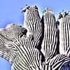 USA2004060106 - USA, Saguaro NP, Arizona, 6-2004