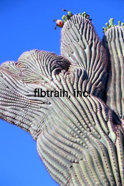 USA2004060110 - USA, Saguaro NP, Arizona, 6-2004