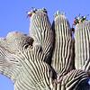 USA2004060105 - USA, Saguaro NP, Arizona, 6-2004