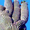 USA2004060103 - USA, Saguaro NP, Arizona, 6-2004