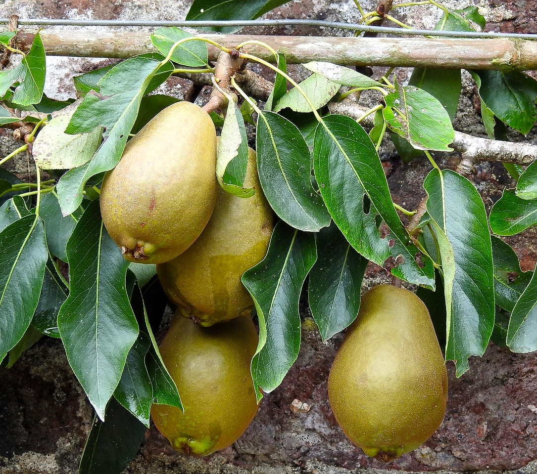 Espaliered Pears, The Lost Gardens of Heligan, Cornwall