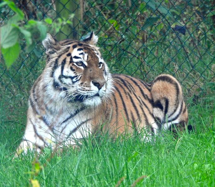 Longleat Tiger