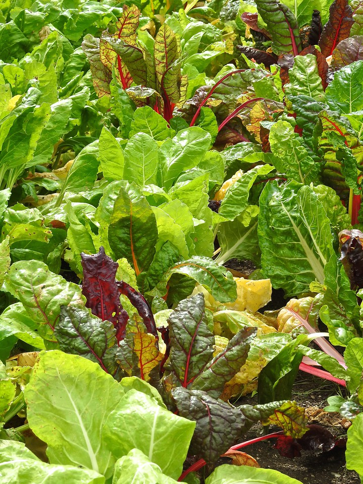 Swiss Chard at The Lost Gardens of Heligan, Cornwall