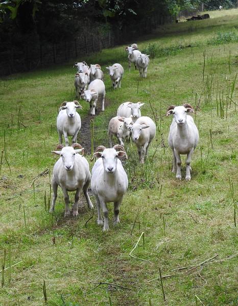 Stourhead Sheep