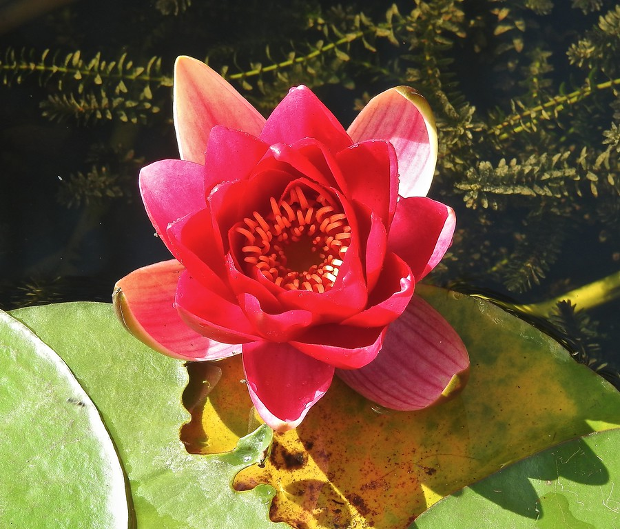 Water Lily, Hidcote