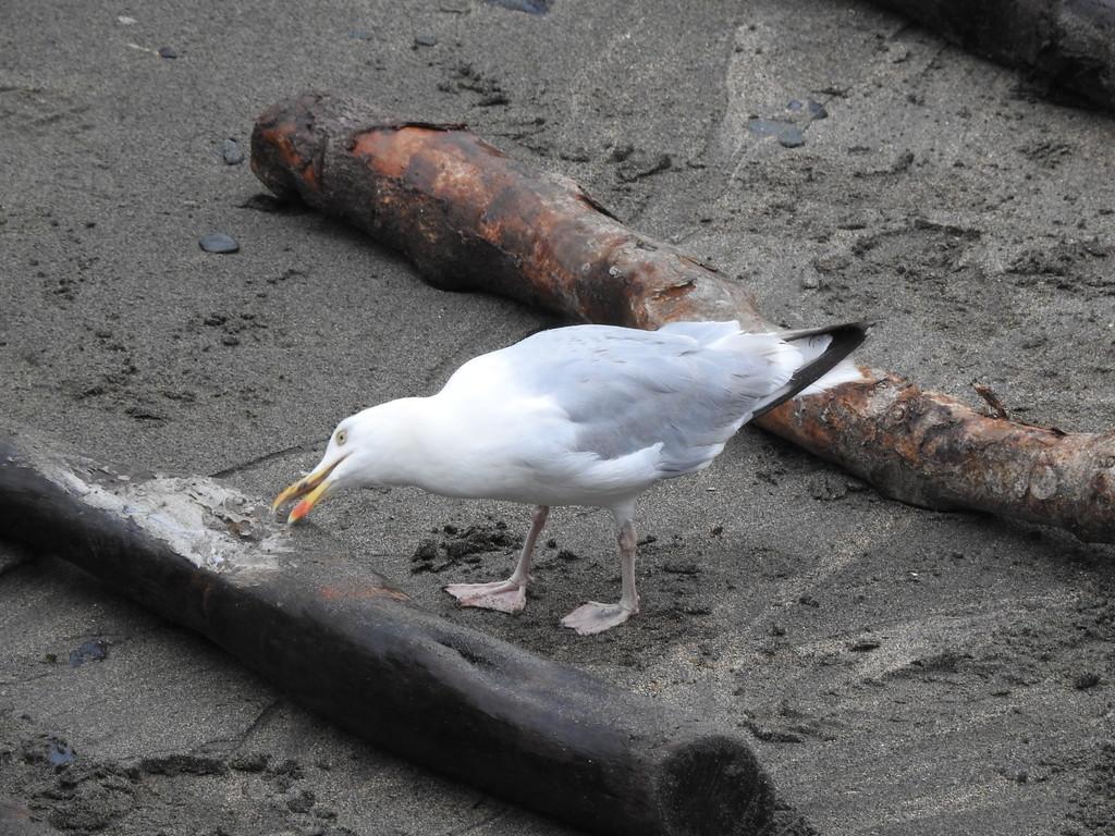 Portloe Gull