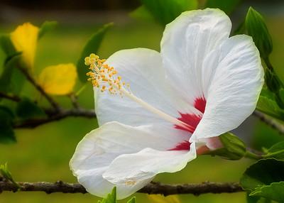 Bermuda Hibiscus