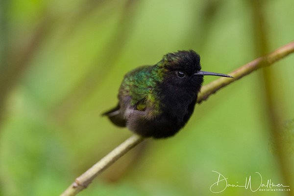 Black-bellied Hummingbird (male)