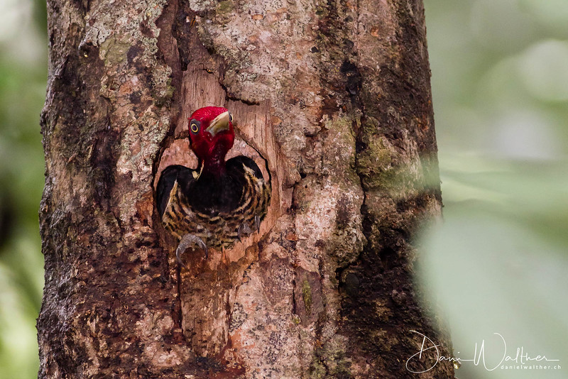 Pale-billed Woodpecker (female)