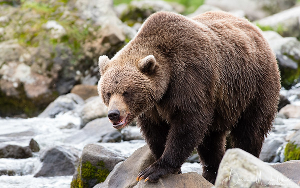 Female Kamchatka Brown Bear